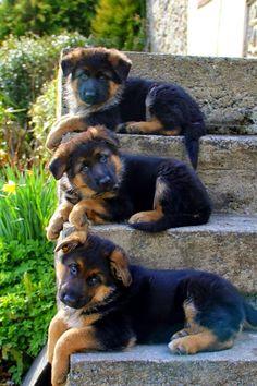 GSD Puppies I will call them Athos & Porthos & Aramis