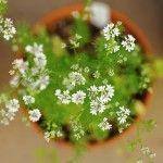 Herb+Growing+Guide:+Cilantro+(Coriander)