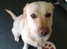 Mia Sanchez #LabradorRetriever #veterinario www.veterinario.es