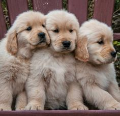 """Get wonderful pointers on """"golden retrievers"""". They are available for you on our… Get wonderful pointers on """"golden retrievers"""". Cute Dogs And Puppies, I Love Dogs, Pet Dogs, Dog Cat, Pets, Doggies, Puppies Puppies, Fluffy Puppies, Chien Golden Retriever"""