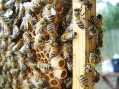 Queen cups on the bottom of a brood frame.  Am I raising queens or #honeybees??