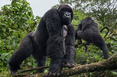 Picture of two silverback gorillas