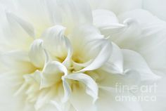DELICATE WHITE SOFTNESS -   Prints & Greeting Cards available at:  http://kaye-menner.artistwebsites.com/featured/delicate-white-softness-kaye-menner.html  -