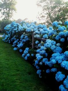 hydrangea on green lawn for a long driveway