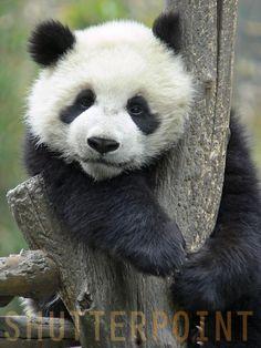 baby panda:)