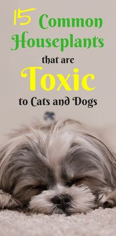 Poisonous Indoor Plants for Dogs | Poisonous Indoor Plants for Cats | Toxic Houseplants for Pets | Interior Plants |