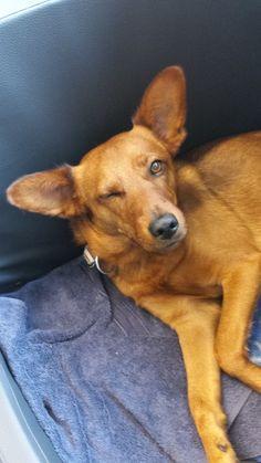 Welthundetag 2016 - Bürohund Dingo
