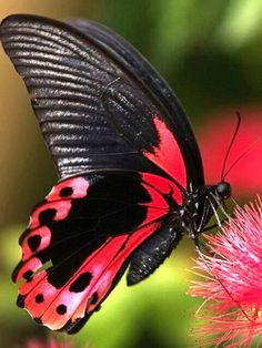 Crimson Rose Swallowtail Butterfly