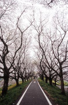Tunnel of Cherry Blossom Trees in Saitama | Japan (by huzu1959)