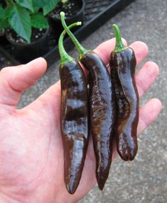 Heirloom hot pepper, Pasilla Bajio. The pepper of choice for Mexican mole sauce. Also great for making enchilada sauce.
