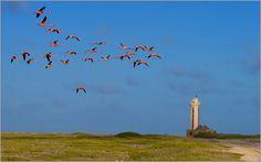 - Bonaire Island - News Photography And Videography, Flamingo, Island, Explore, Lighthouses, Animals, News, Flamingo Bird, Animales
