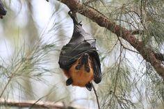 Fruit Bat on Pulau Tioman, Malaysia