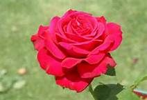 """Alec's Red Rose - Beautiful almost black buds open into large 6"""" fully double, globular blooms of crimson to cherry red.  Very strong, rich damask perfume.  Vigorous, upright bush with dark green foliage.  Scotland is country of origin.  Continual blooming.  Not shade tolerant."""