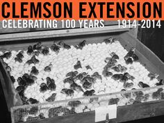 Quail chicks ready to be removed from incubator tray. Extension Circular 396: Raising Bobwhite Quail, 1955. Image courtesy of Clemson University Special Collections. #ClemsonExt100