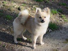 Pomeranian+Haircut+Styles | Pomeranian Dogs – Grooming Tips