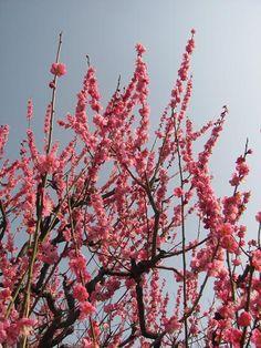 Ume (Japanese aplicot) blossom, OSAKA castle park