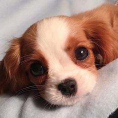 Nessa the Cavalierさん( 「The look I give my hoomans when they're eating something yummy. Baby Animals Super Cute, Cute Little Animals, Cute Funny Animals, Cute Dogs And Puppies, I Love Dogs, Pet Dogs, Pets, Doggies, Cavalier King Charles Dog