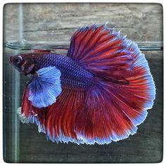 AquaBid.com - Item # fwbettashm1461665710 - Dumbo pink butterfly (1785) By 3636bettaberry - Ends: Tue Apr 26 2016 - 05:15:10 AM CDT