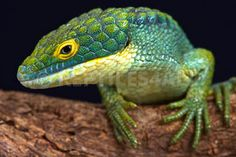 REPTILES4ALL | Arboreal alligator lizard (Abronia graminea)