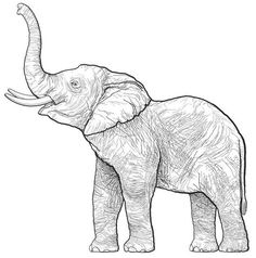 ideas for tattoo elephant drawing animals Elephant Face Drawing, Elephant Sketch, Elephant Illustration, Elephant Drawings, Simple Elephant Drawing, Animal Sketches, Animal Drawings, Drawing Sketches, Art Drawings
