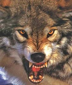 wolf snarling - Google Search