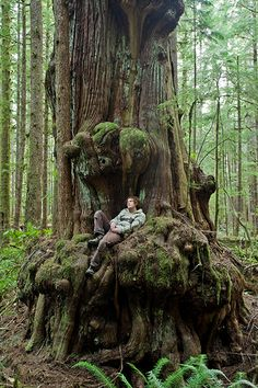 Saturn Cedar - Avatar Grove Photo - Biggest Trees Gallery - Ancient Forest Alliance