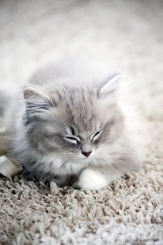 All I want for Valentines Day is a Ragdoll Kitten!