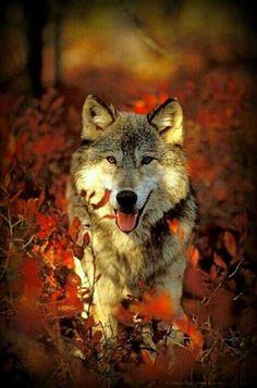 Wolf in Autumn