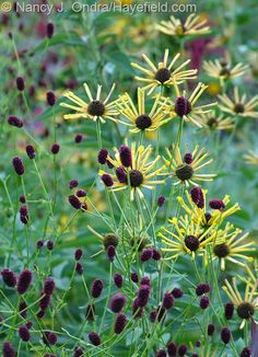 'Henry Eilers' sweet coneflower (R. subtomentosa) with Japanese burnet'…