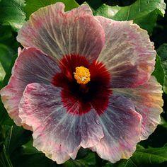 Tropical Hibiscus 'Sanctuary'
