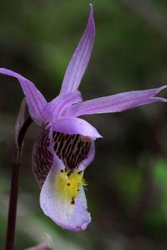 Orquídeas nativas do Noroeste do Pacífico e as Montanhas Rochosas canadenses