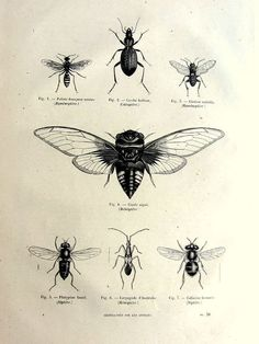Vintage french insects print, antique original 1860 wasps bees engraving, cicada plate illustration, insect fly zoology animal for framing. Cicada tattoo?: