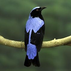 The fairy bluebird is a dimorphic species, meaning that males and females differ in appearance. Male fairy bluebirds display bright blue and black colors, while the female is a duller blue. The brighter colors of the male birds help them attract mates.