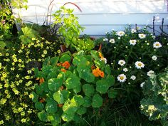 Daisies and nasturtiums by the side door