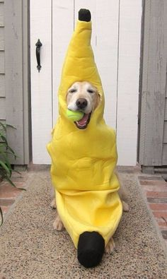 Dog in a banana costume holding a tennis ball is too cute!