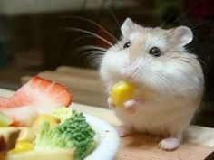 Cute Roborovski hamster eating:)