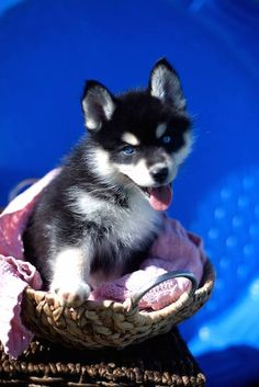 Pomsky Information and Pictures