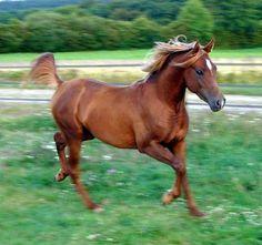 les cheveaux pure sang | Quelques p ur-sang arabes pratiquent également l'équitation western.