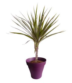 Dracaena marginata 1 tronc avec cache pot violet