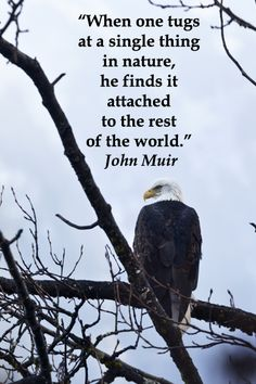 """""""When one tugs at a single thing in nature, he finds it attached to the rest of the world.""""  John Muir  -- On image of BALD EAGLE in JUNEAU, ALASKA, by F. McGinn -- Use bird and wildlife photography to build the naturalist intelligence in young learners!  Get learning tips and resources at http://www.examiner.com/article/use-wildlife-photography-to-build-naturalist-intelligence-young-learners"""