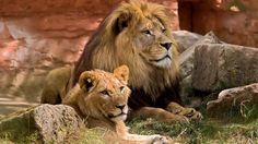 lion image hd, 1920x1080 (557 kB)
