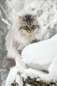 The illusive East Texas Snow Cat...