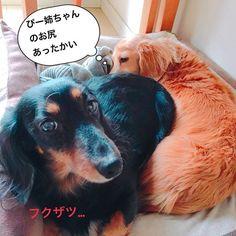 今朝は東京結構冷えました💦うーちゃん、ぴーちゃんにピタッと寄り添ってます💕寒くなるとワンコたちがひっついてるのがたくさん見られるようになりますね😊 #ミニチュアダックス #ミニチュアダックス倶楽部 #ミニチュアダックスフンド #ミニチュアダックス大好き #ダックス #ダックス倶楽部 #愛犬 #犬は家族 #犬との暮らし #犬との生活 #犬との日々 #犬らぶ #犬らぶ部 #犬ばか #犬ばか部  #いぬは家族 #みにちゅあだっくす #みにちゅあだっくすふんど #短足部 #minichuaducks #instadog  #ilovemydog #癒しわんこ #たんそく部  #今日のわんこ #今日のダックスフンド #minichuadachs  #minichuadachshund  #ブラックタンダックス  #ミニチュアダックスゴールド