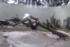 Le jaguar fait les cent pas et s'ennuie ferme dans sa cage jusqu'à ce qu'une proie providentielle lui tombe du ciel