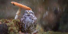 【キュン死注意】キノコの下で雨宿りするフクロウが可愛すぎると話題に http://ift.tt/1PuhZZM