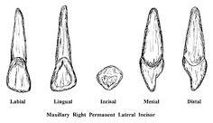 Incisors School Stuff, Teeth, Dental Anatomy, Tooth