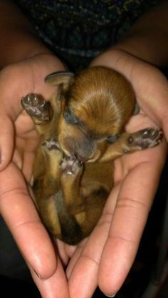 4 days old...mama is a short hair black/tan full size, daddy is a mini red long hair brindle.