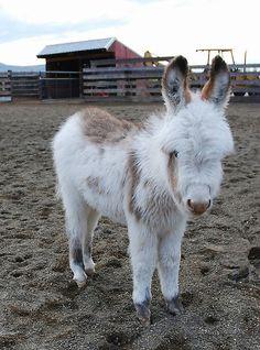 Six-week old Donkey