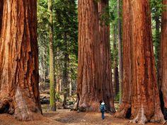 Giant sequoia trees in Sequoia national park, Sierra Nevada, California. Sequoia National Park, Top 10 National Parks, California National Parks, California Travel, Nevada California, Tourist Places In California, California Drought, Central California, Northern California