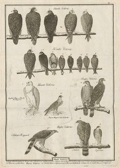 Observations sur le vol des oiseaux de proie, Jean Huber, 1784, vintage, illustration, birds of prey